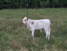 BULL CALF-BL RED RIVER DOTTIE